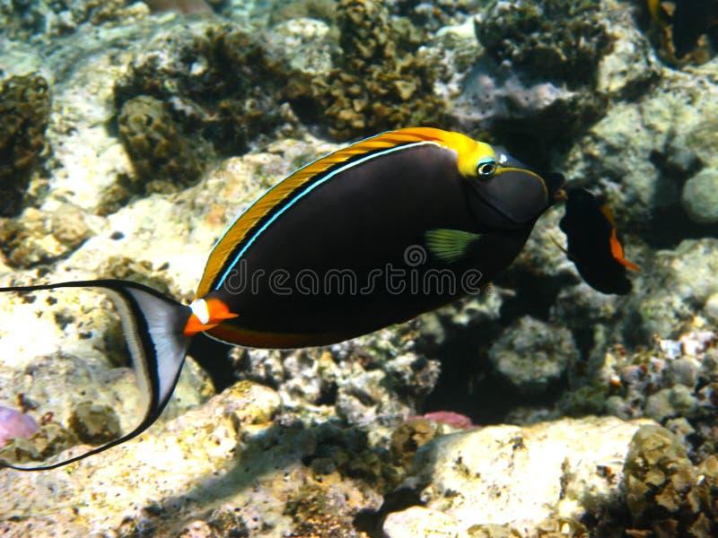 Orangespine unicornfish royalty-vrije stock afbeelding