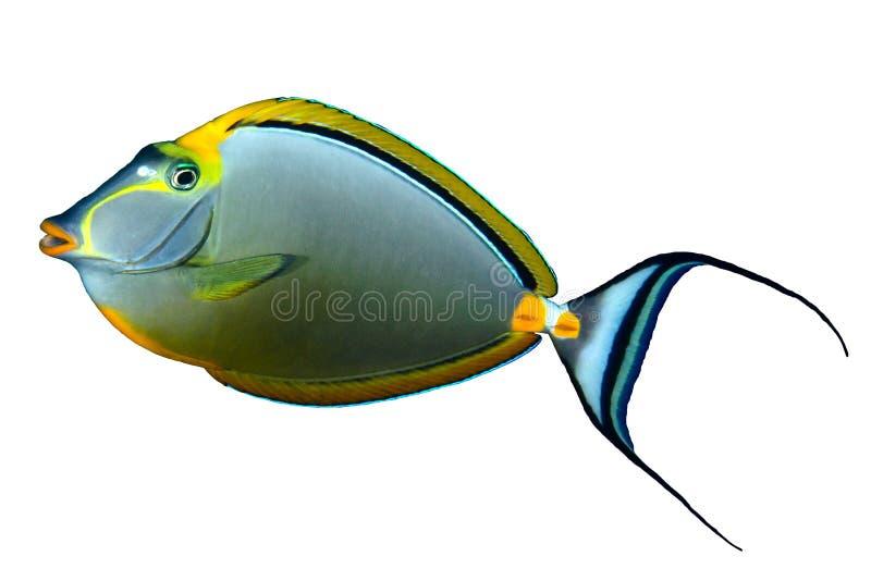 Orangespine unicornfish. (Naso elegans) isolated on white background stock photos