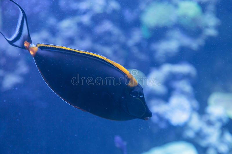 Orangespine unicornfish, Naso lituratus. Is found in the Indian and Pacific Ocean stock image