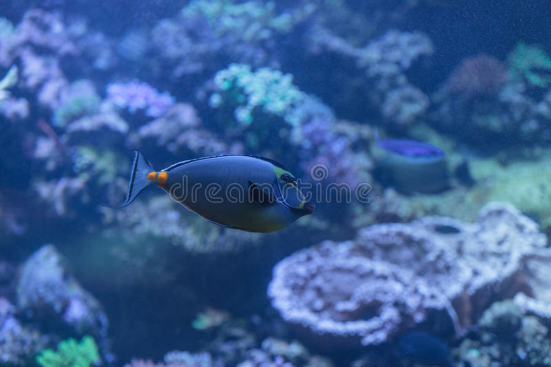 Orangespine unicornfish, Naso lituratus. Is found in the Indian and Pacific Ocean royalty free stock photos
