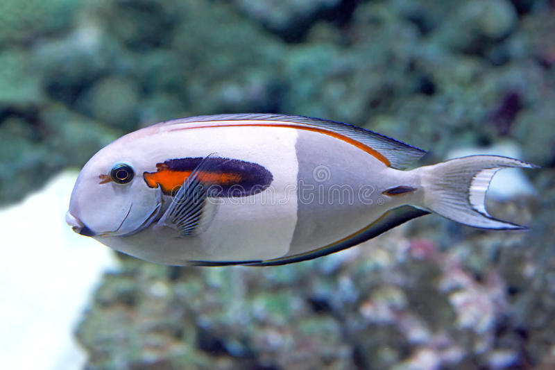 Orangespot矛状棘鱼(叶形装饰板olivaceus) 免版税库存图片