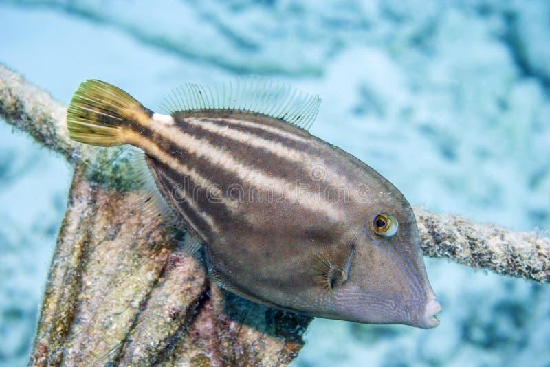 Orangespotted filefish, Cantherhines pullus royalty free stock image