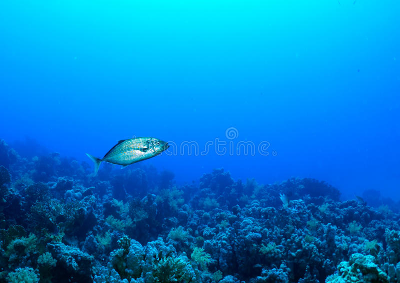 Download Orangespotted trevally stock image. Image of carangoides - 22080459