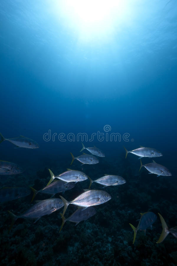 Free Orangespotted Trevally And Ocean Royalty Free Stock Photo - 12870995