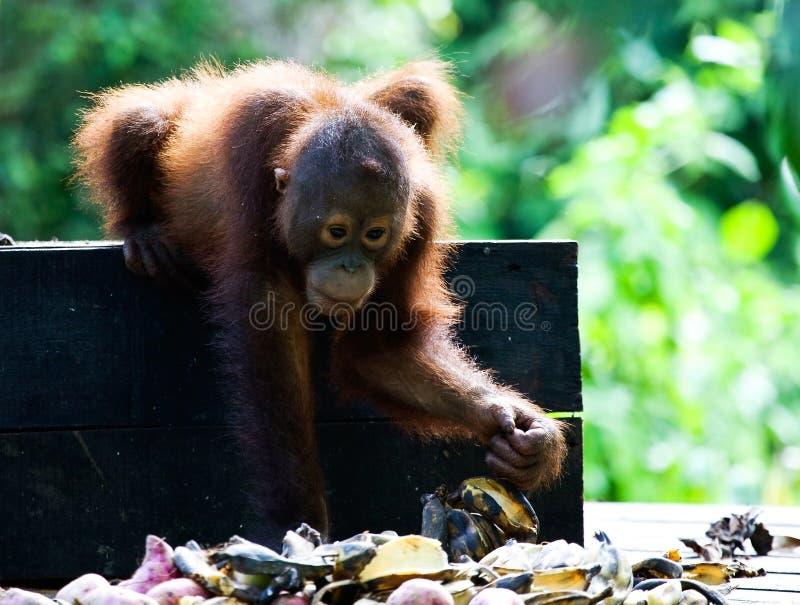 Orango-oetan di Borneose, orangutan di Bornean, pygmaeus del pongo fotografia stock libera da diritti