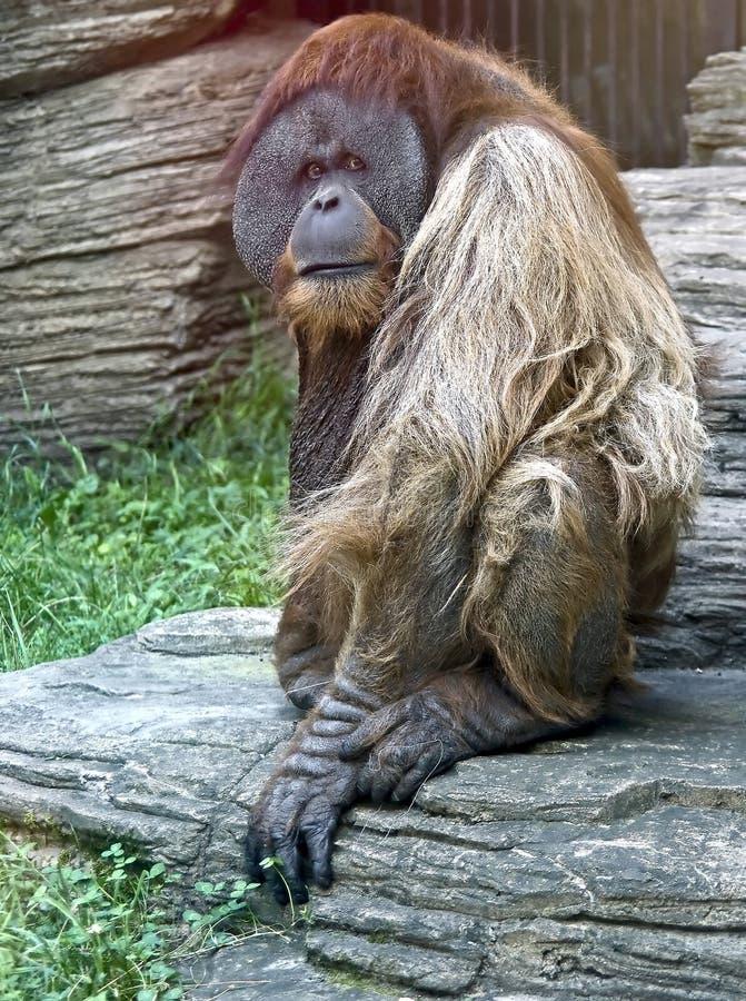 Orangoetan 1 van Bornean stock afbeeldingen
