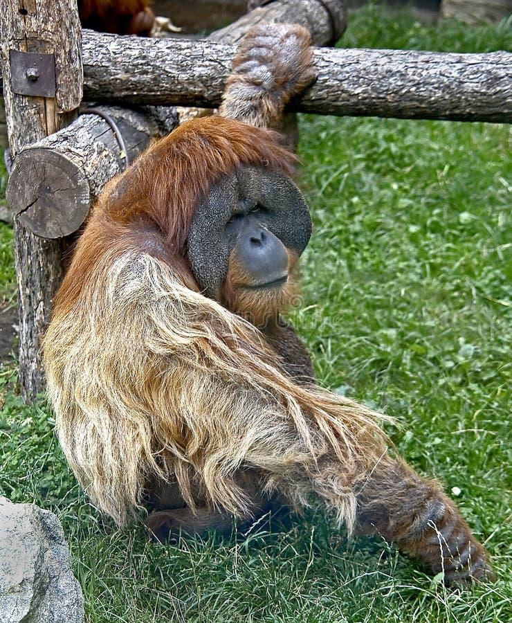 Orangoetan 2 van Bornean stock fotografie
