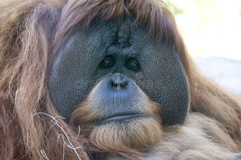 Orangoetan bij San Diego Zoo royalty-vrije stock afbeelding
