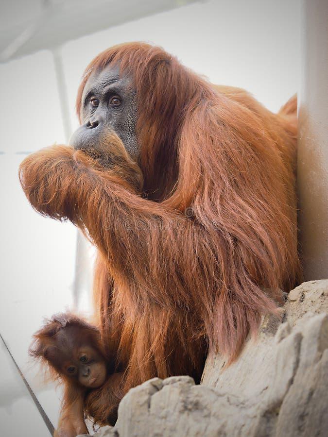 Orangoetan in Chester stock afbeeldingen