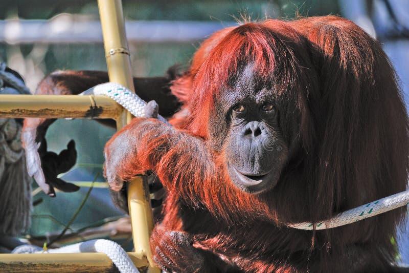 Orangoetan in gevangenschap stock foto's