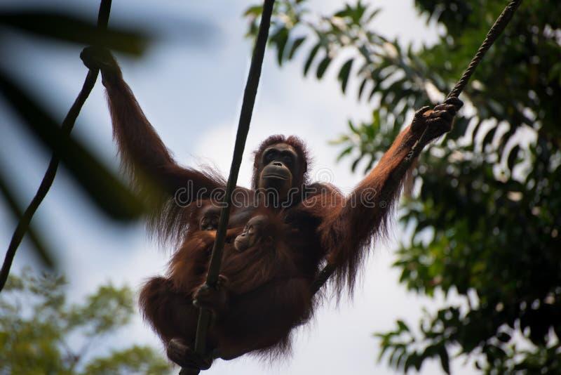 Orangoetan het hangen samen met twee kinderen stock fotografie
