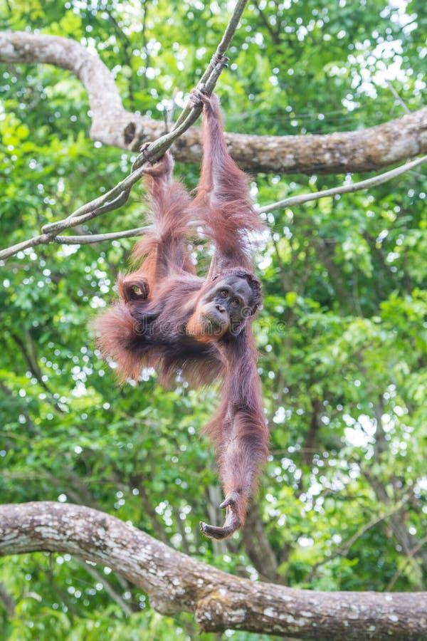 Orangoetan het hangen van de boomtak royalty-vrije stock afbeeldingen