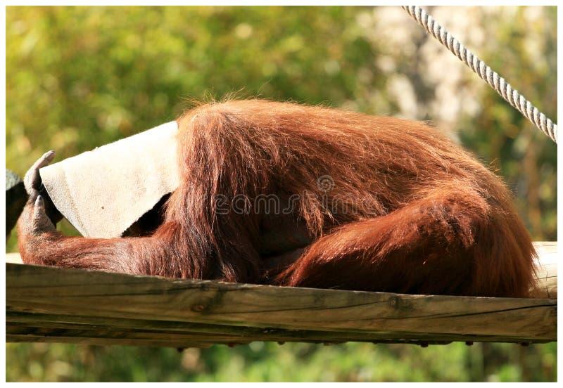 Orangoetan het spelen de huid - en - zoekt stock foto