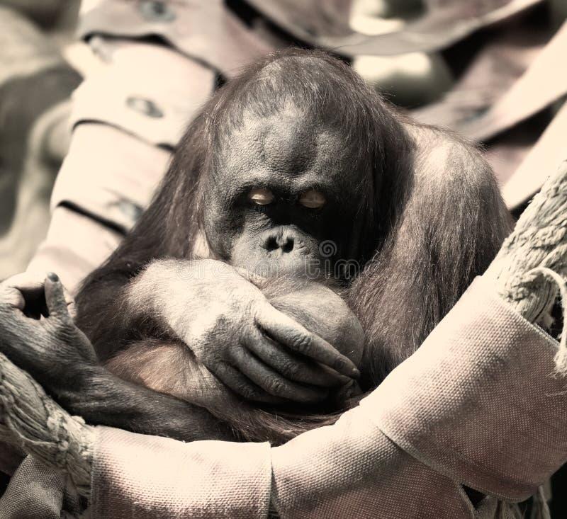 Orangoetan met een welp royalty-vrije stock foto