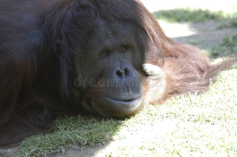 Orangoetan (nadenkend gezicht) royalty-vrije stock foto