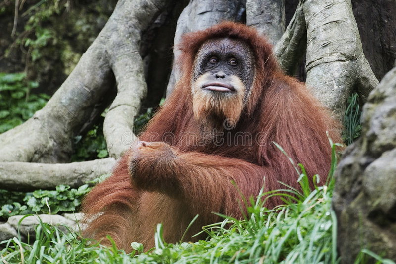 Orangoetan (pygmaeus Pongo), Borneo, Indonesië royalty-vrije stock foto's
