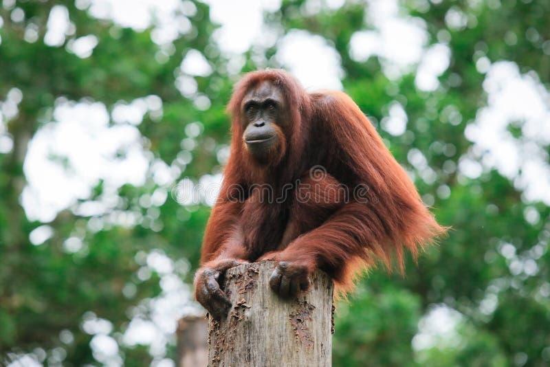Orangoetandierentuin in Kota Kinabalu, Maleisië, Borneo stock afbeelding