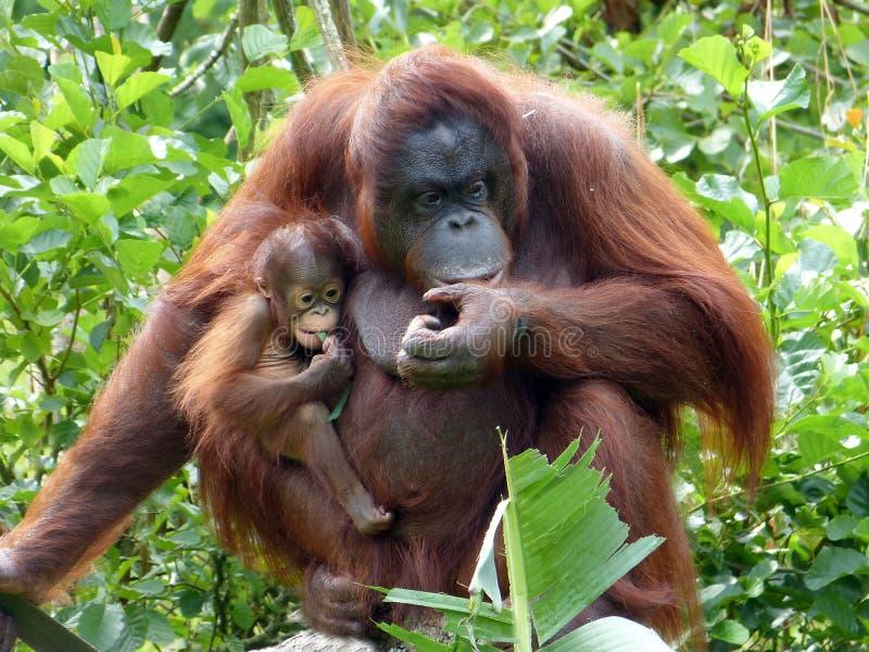 Orangoetanmoeder & baby stock foto's