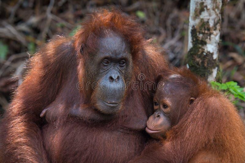 Orangoetanmoeder en welp stock afbeelding