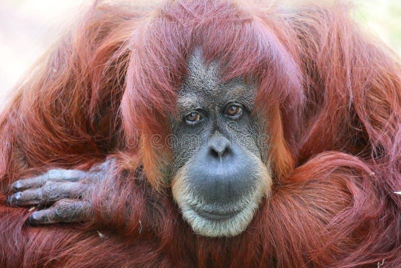 Orangoetanportret royalty-vrije stock afbeelding