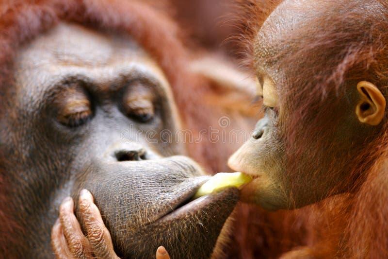 Orangoetans stock afbeeldingen