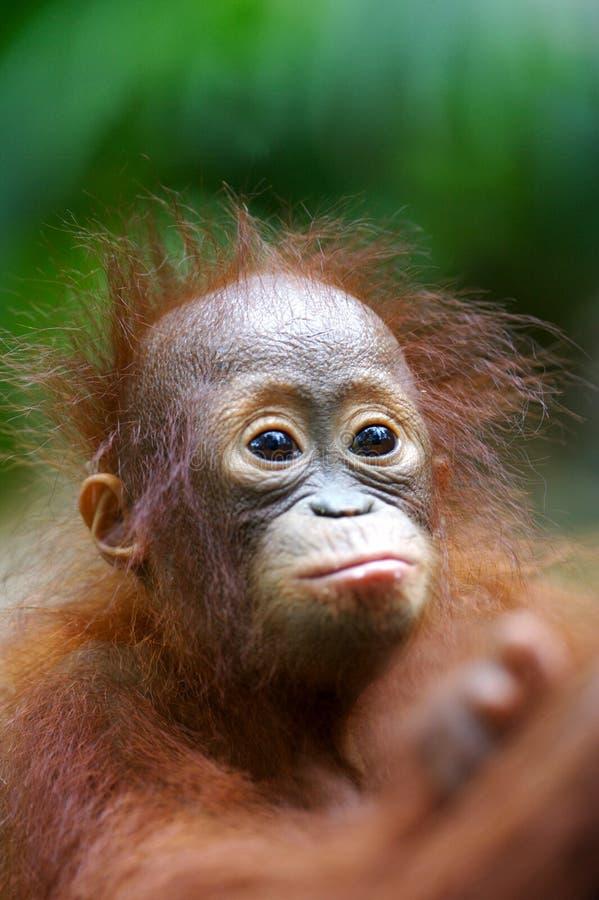 Orangoetans royalty-vrije stock afbeelding