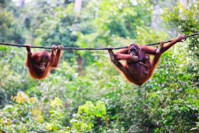 Orangoetans van Sabah in Maleis Borneo royalty-vrije stock foto