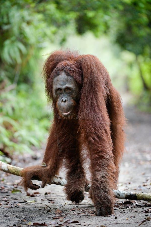 Cute portrait of orangutan royalty free stock images