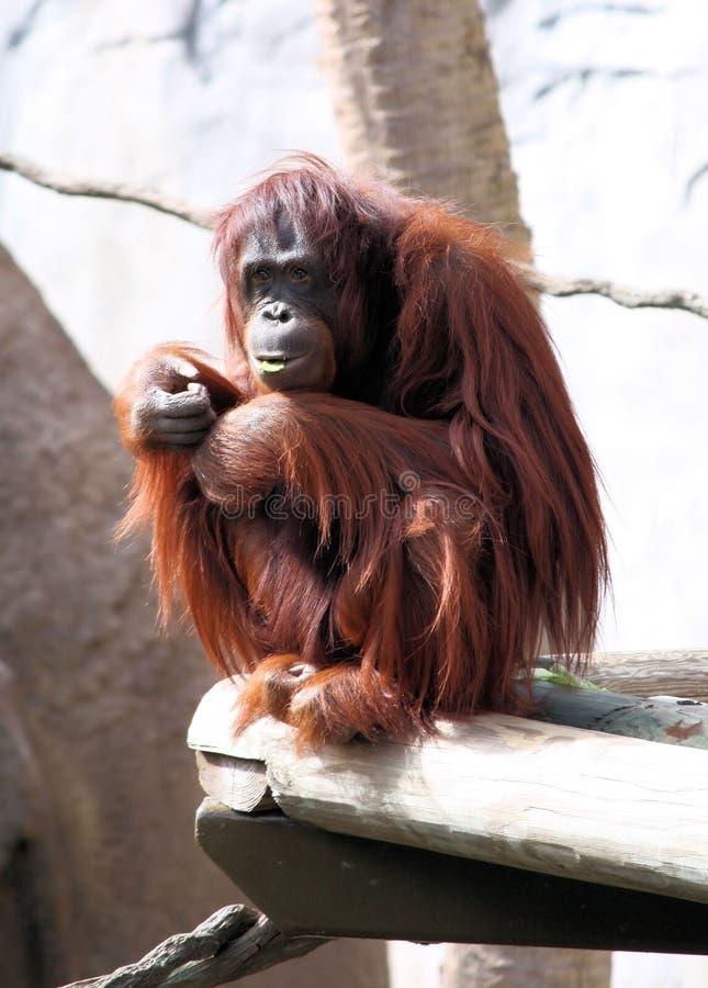 Orangotango fotos de stock royalty free