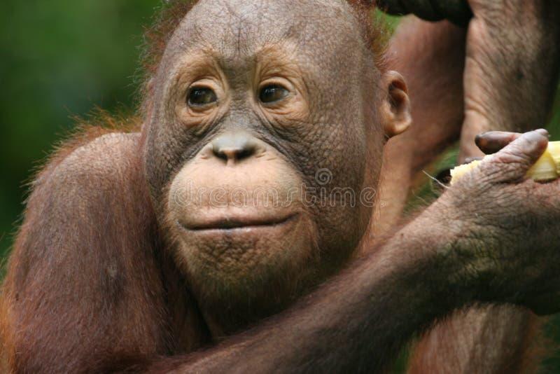 Orangotango foto de stock royalty free