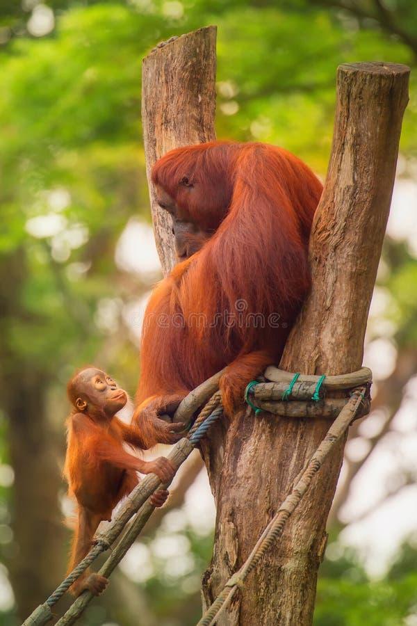 Orangotango adulto que senta-se com selva como um fundo foto de stock