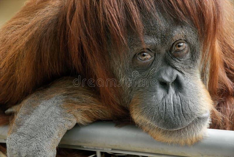 Orangotango bonito que olha na câmera imagens de stock