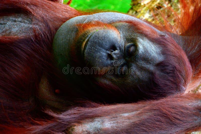 Orangotango de Bornéu fotos de stock royalty free