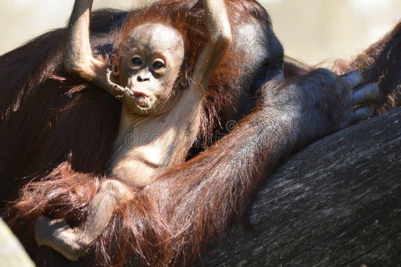Orangotango de Bornéu, mãe e seu jogo do bebê foto de stock royalty free