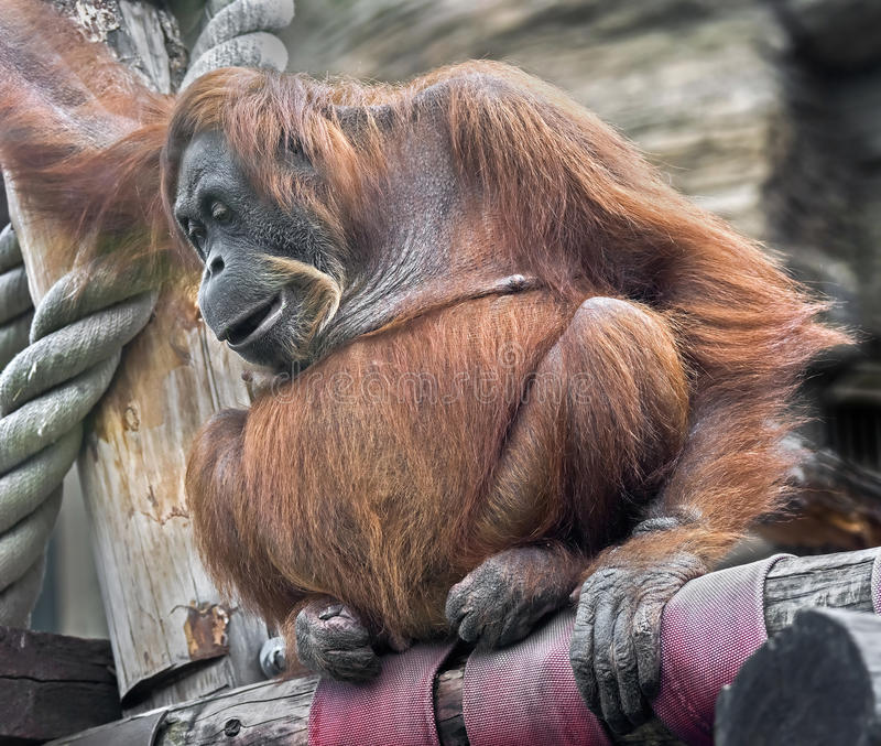 Orangotango de Bornean fotos de stock