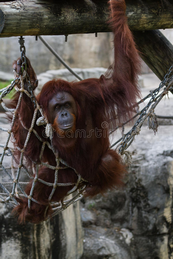 Orangotango de Bornean - Pongo Pygmaeus foto de stock