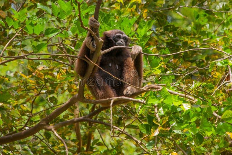 Orangotango de Sabah, Malásia, Bornéu foto de stock royalty free