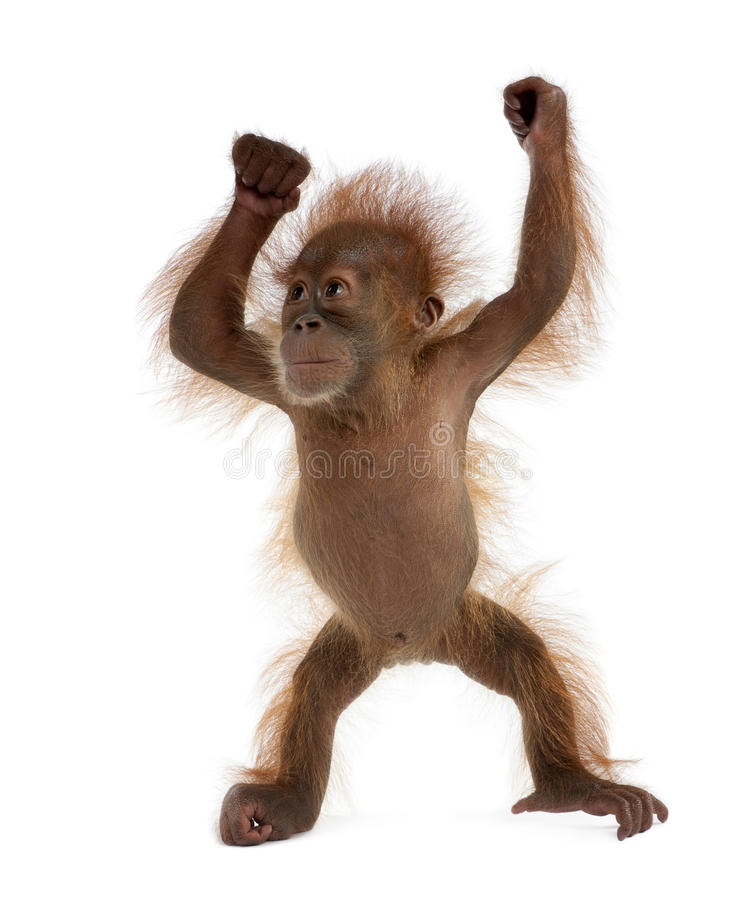 Orangotango de Sumatran do bebê de encontro ao fundo branco imagens de stock