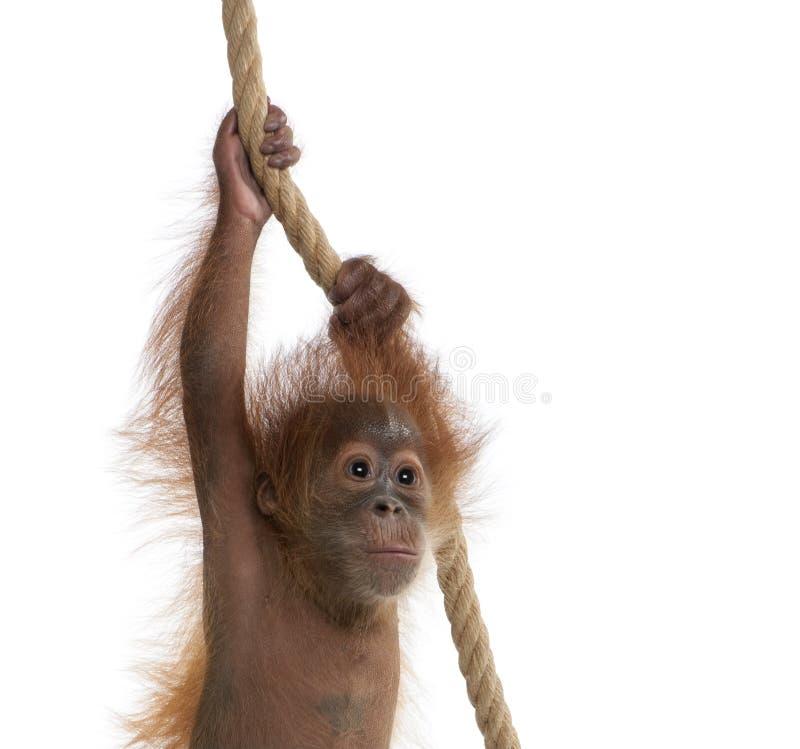 Orangotango de Sumatran do bebê que pendura na corda fotografia de stock royalty free