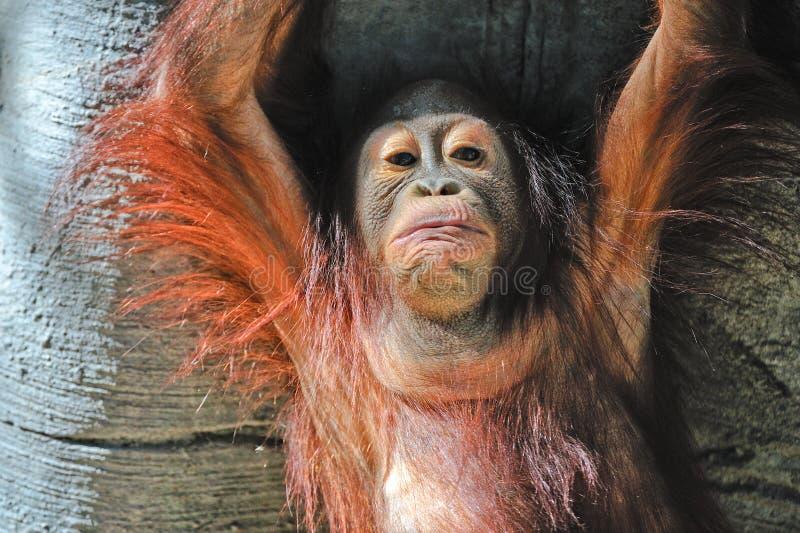 Orangotango do bebê por árvores foto de stock