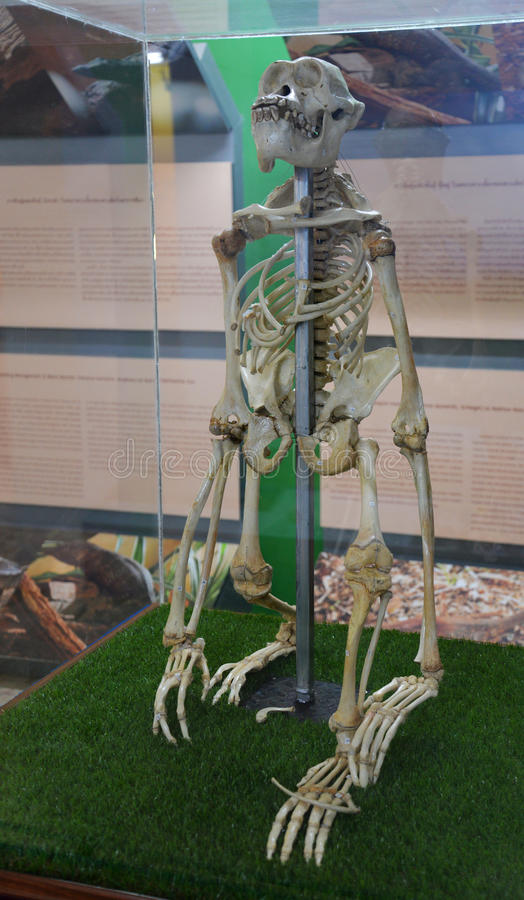 orangotango do esqueleto do osso fotos de stock