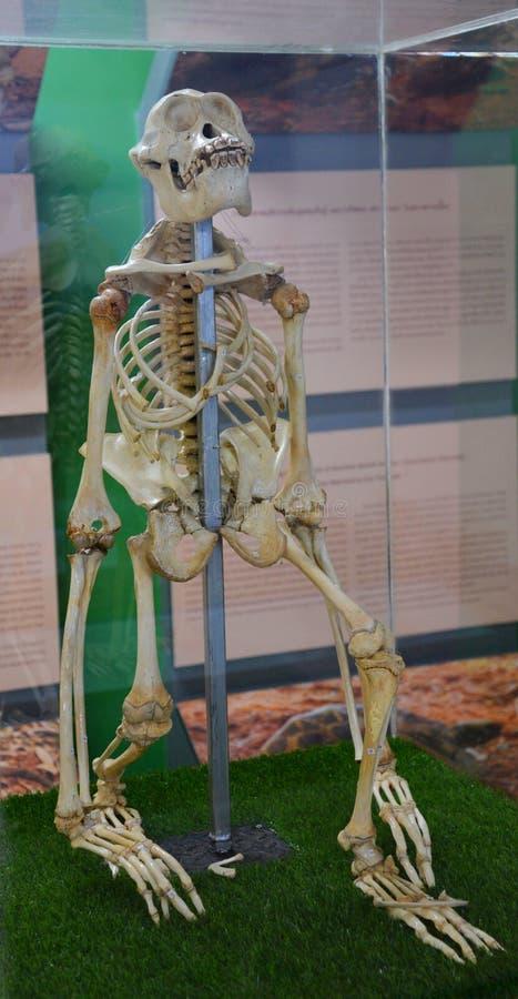 orangotango do esqueleto do osso imagens de stock royalty free