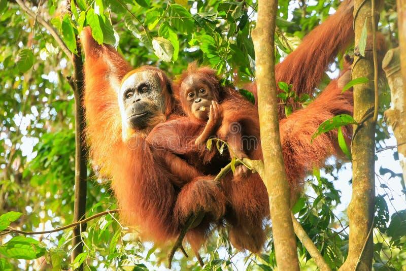 Orangotango fêmea de Sumatran com um bebê que pendura nas árvores, Gunu foto de stock