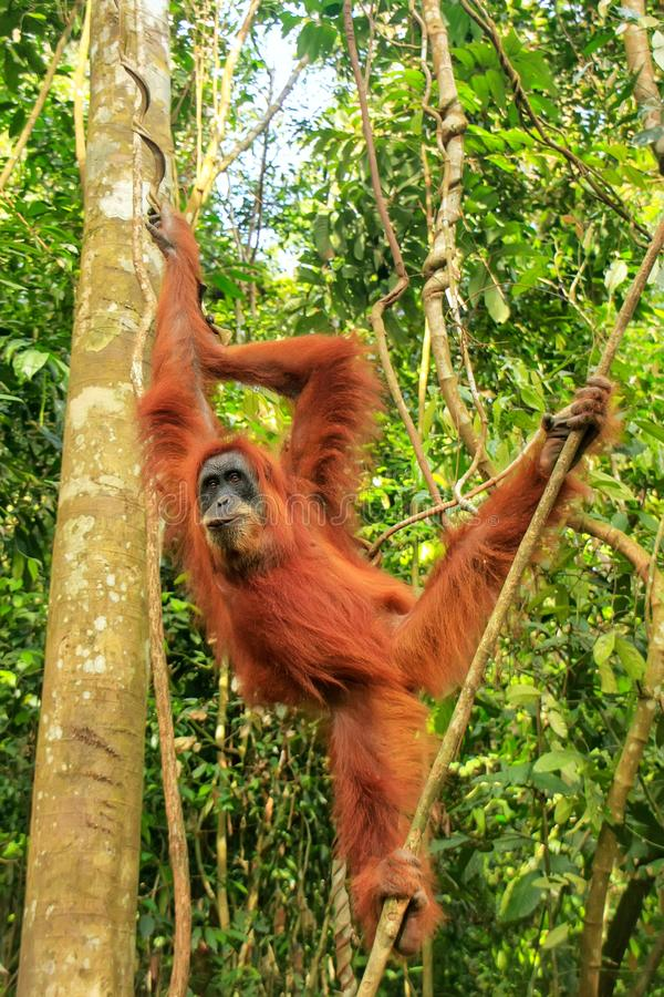 Orangotango fêmea que pendura nas árvores, Na de Sumatran de Gunung Leuser fotografia de stock