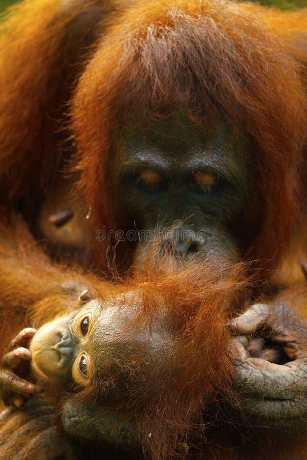 Orangotango f?mea com seu beb? fotografia de stock