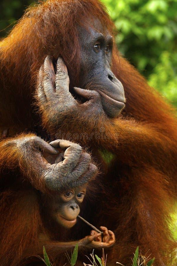 Orangotango f?mea com seu beb? imagem de stock royalty free