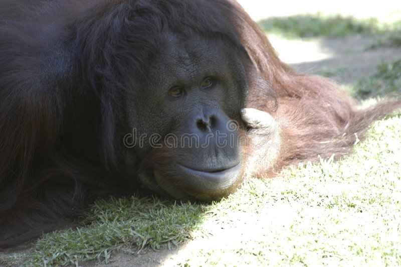 Orangotango (face pensativa) foto de stock royalty free