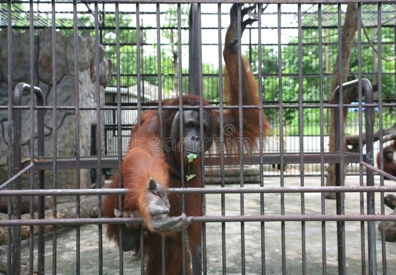 Orangotango grande no jardim zoológico imagens de stock