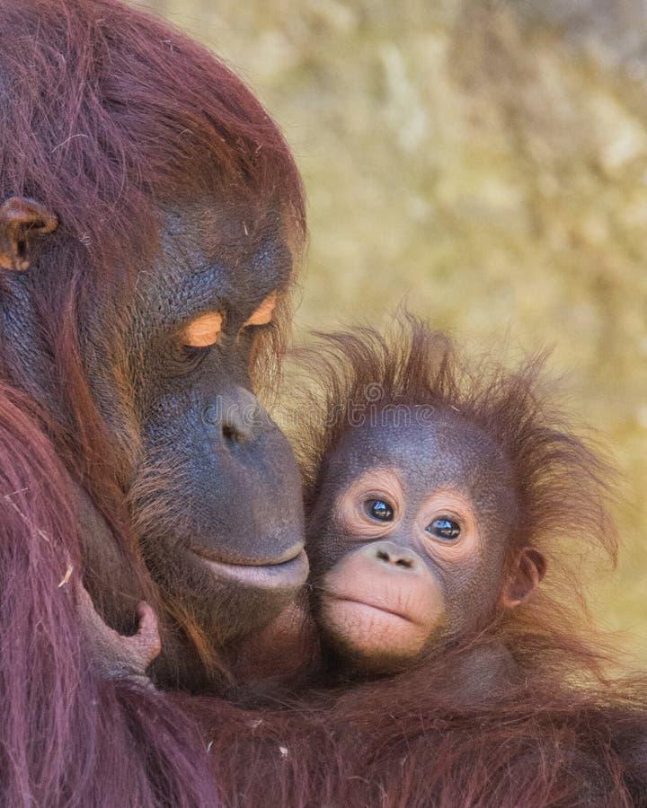 Orangotango - mãe e bebê fotografia de stock royalty free