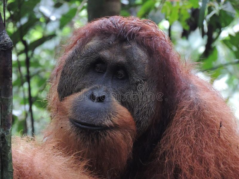 Orangotango masculino bonito em Bukit Lawang Sumatra, Indonésia imagens de stock